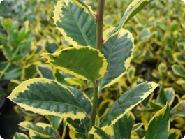 <h5>Ilex</h5><p>Use as bushes or trained as a leader to a cane</p>