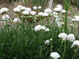 ARMERIA MARITIMA MORNING STAR WHITE