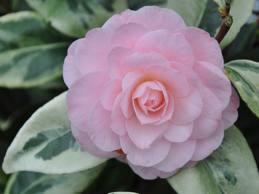 Camellia kerguelen
