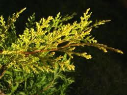 CUPRESSOCYPARIS CASTLEWELLAN