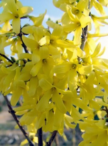 Forsythia x intermedia Lynwood 3