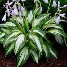 HOSTA CHRISTMAS CANDY