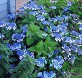 HYDRANGEA TELLER BLUE