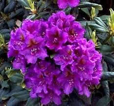 RHODODENDRON LEES DARK PURPLE