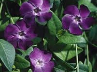 VINCA BOWLES PURPLE
