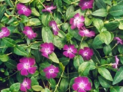 Vinca_minor_atropurpurea