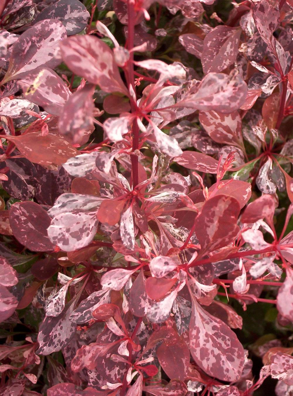 berberis rosy glow