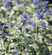 CARYOPTERIS WHITE SUPRISE