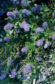 ceanothus burkwoodii