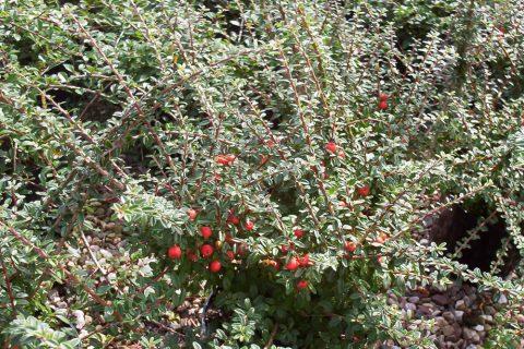 cotoneaster conspicious decorus