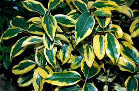 eleagnus ebbingei GILT EDGE