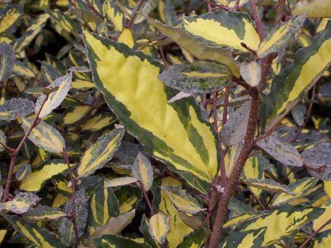 eleagnus pungens maculata