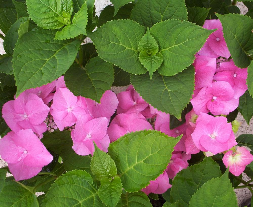 hydrangea teller pink