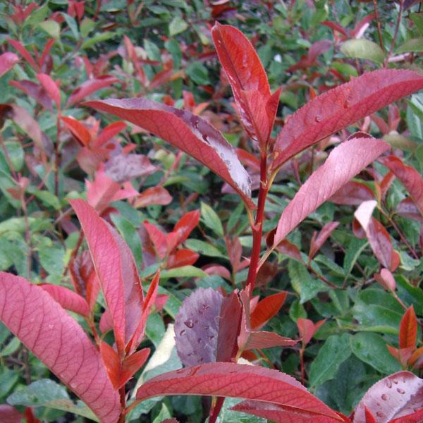 photinia red robin an evergreen shrub from rainbow plants. Black Bedroom Furniture Sets. Home Design Ideas