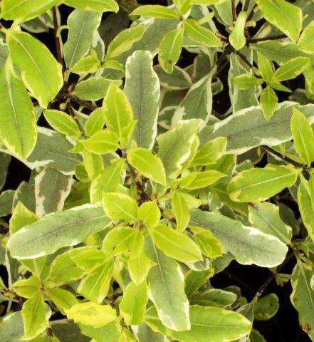 pittosporum eugenioides variegatum