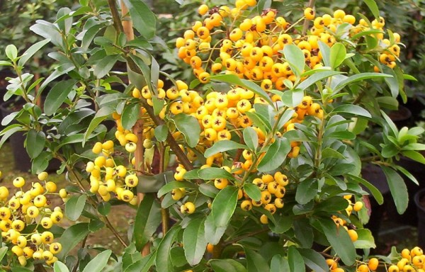 PYRACANTHA SAPHYR ORANGE