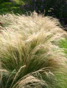 STIPA PONYTAILS (GRASS)