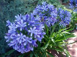 AGAGANTHUS UMBELLATUS BLUE