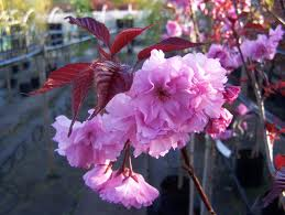 PRUNUS ROYAL BURGANDY