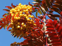 SORBUS AUCUPARIA JOSEPH ROCK