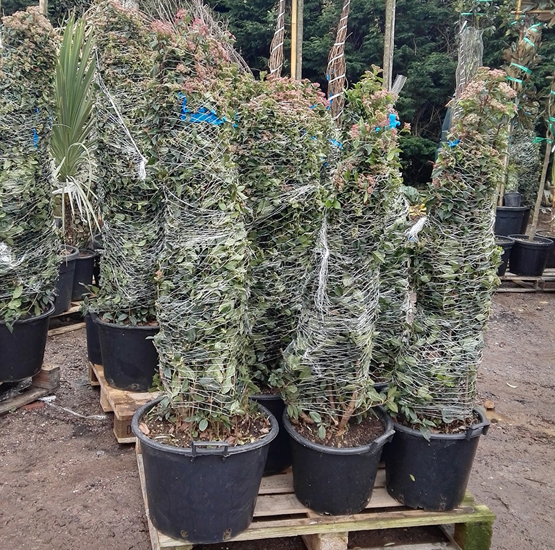 Some of our featured Italian wholesale plants for sale here at Rainbow Plants